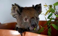 Thiên tai 'cướp' mất 30% gấu túi koala ở Úc chỉ trong 3 năm