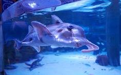 Australia báo động nguy cơ tuyệt chủng của nhiều loài cá mập