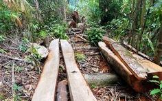 Xác minh thông tin rừng phòng hộ A Lưới bị chặt phá