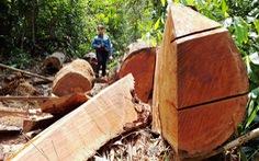 Quảng Nam: Không tận dụng gỗ khi làm đường, chỉ cho người dân dùng làm nhà