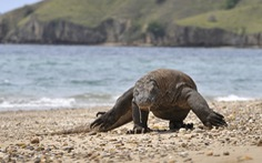 Rồng Komodo vào danh sách nguy cơ tuyệt chủng vì nước biển dâng