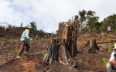Rừng tự nhiên ở Phú Yên lại bị tàn phá: Lợi dụng dịch COVID-19 để phá rừng?