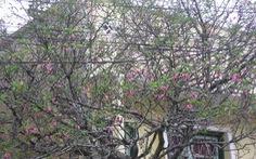 Trồng thử nghiệm hoa anh đào Nhật tại Đà Lạt