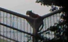 Ban quản lý vườn thú không ngờ hổ lên đỉnh rào