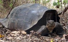 """Rùa """"tuyệt chủng"""" tái xuất sau 150 năm"""
