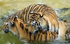 Dời làng để bảo vệ hổ