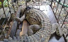 Bắt được cá sấu ở suối