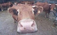 Thịt bò Mỹ sợ bệnh bò điên