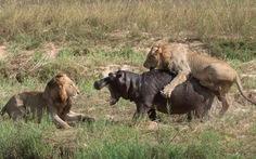 Đụng độ nảy lửa giữa sư tử với hà mã
