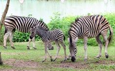 Ngựa vằn, linh dương Châu Phi sinh con trong vườn thú