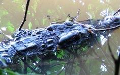 Kỳ kèo thu hồi cá sấu sổng chuồng
