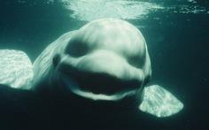 Cá voi trắng biết bắt chước giọng nói người?