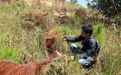 Tái diễn nạn chặt phá thông ba lá ở Đà Lạt