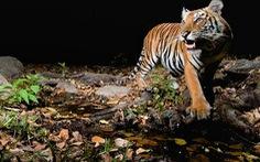 Cuối năm 2012: số lượng hổ dần phục hồi