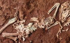 Hóa thạch khủng long có kích thước bằng con gà