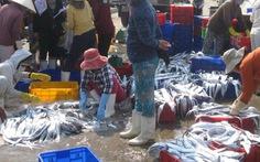 Ngư dân Quảng Ngãi trúng đậm cá hố