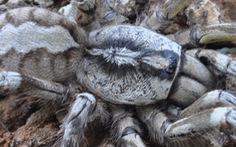 Phát hiện loài nhện mới to như mặt người