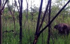 Cứu hộ voi rừng dính bẫy