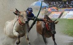 Tưng bừng đua bò Bảy Núi
