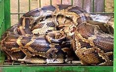 Giải cứu con trăn gấm dài 3,5 mét, nặng 45 kg