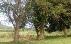 """Hai cây duối di sản ở làng cổ Đường Lâm đang """"hấp hối"""""""