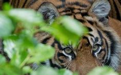Ấn Độ: hổ trong vườn quốc gia vồ chết 4 người