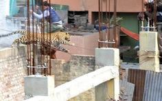 Clip một con báo gây náo loạn đường phố Ấn Độ