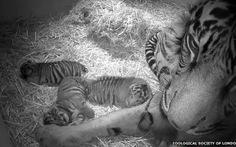 Hổ Sumatra sinh 3 con hiếm thấy