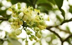 Tháng ba, ngát mùa hoa bưởi