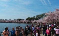 Hoa anh đào nở rực Washington DC