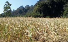 Nghệ An: Gần 15.000 hecta ngô, lạc bị hạn nặng