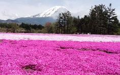Ngắm hoa shibazakura dưới chân núi Phú Sĩ