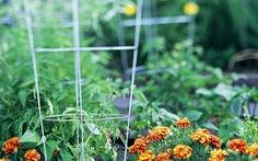 Trồng cà chua trong vườn phố