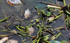 Cá chết trắng kênh Nhiêu Lộc - Thị Nghè