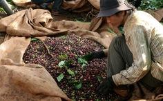 Đắk Lắk: cà phê hứa hẹn được mùa nhờ giống mới