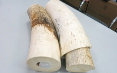 Bắt lô ngà voi Châu phi nhập lậu gần 3 tỷ đồng