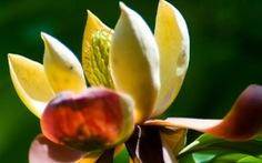 Quần thể Ngọc lan quý hiếm ở Sơn La