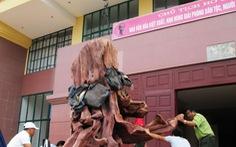 Quảng Bình:đưa gốc sưa tiền tỉ vào bảo tàng