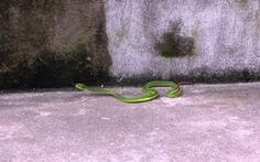 Hoang mang chuyện rắn lục cắn là do... truyền thông