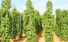 Nông dân Phú Quốc phấn khởi đầu tư trồng mới hồ tiêu