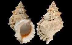 Nguy cơ ngộ độc chết người từ ốc biển