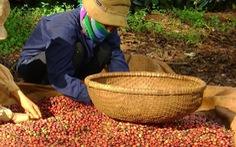 Sản lượng cà phê có thể giảm tới 20 - 25%
