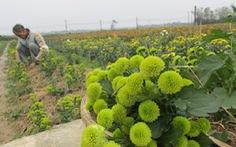 Làng hoa Thừa Thiên-Huế tăng diện tích trồng cho vụ Tết