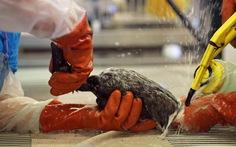 Chim chết hàng loạt trên bờ biển vịnh San Francisco