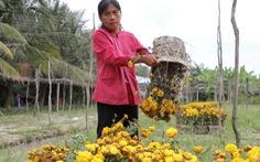 Điểm tin: Nông dân trồng hoa tết: hoa đổ, nợ đuổi