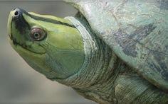 Tìm thấy rùa tuyệt chủng tuyệt đẹp trong... chợ Trung Quốc