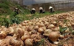 Nông sản đổ bỏ: Vì đâu nên nỗi?