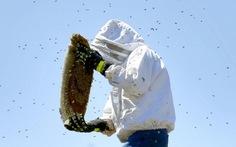 Bị ong chích cả ngàn vết vẫn sống