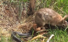 Clip thỏ mẹ đuổi rắn cứu con gây cảm động