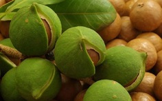 Thanh Hóa dừng đề án quy hoạch phát triển cây mắcca